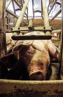 Secret Lives of Pigs, The